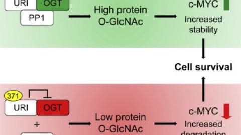 Descubren un mecanismo que permite al cáncer sobrevivir sin glucosa